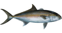 Amberjack Fishing Tips - How To Catch Amberjack