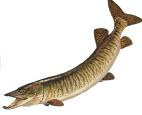 Musky Fishing Tips - How To Catch Musky