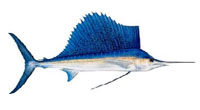 Sailfish Fishing Tips - How To Catch Sailfish