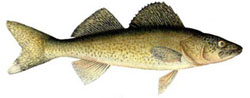 Walleye Fishing Tips - How To Catch Walleye
